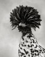 Beth Moon: Polish Crested Black