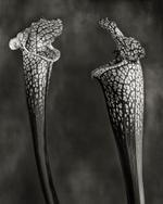 Beth Moon: White Trumpet Plants