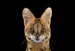 Brad Wilson: Serval #1, Albuquerque, MN, 2013