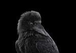 Brad Wilson: Raven #2, Albuquerque, NM, 2013