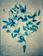 Diana Bloomfield: Autumn Clematis, 2018