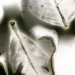 Edward Bateman: Leaf No. 38c2