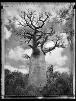 Elaine Ling: Baobab, Tree of Generations #30, 2010