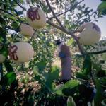 Jane Alden Stevens: Stencils Being Applied to Apples, Fall, Aomori Prefecture