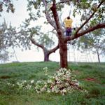 Jane Alden Stevens: Culling Blossoms #1, Spring, Aomori Prefecture