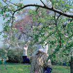Jane Alden Stevens: Hand Pollination #1, Spring, Aomori Prefecture