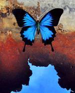 Jo Whaley: <i>Papilio ulysses</i>