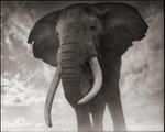 Nick Brandt: Elephant Against Sky, Amboseli 2011