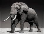 Nick Brandt: Elephant with Half Ear, Amboseli 2010