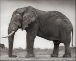 Nick Brandt: Elephant with One Tusk, Amboseli, 2012