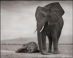 Nick Brandt: Elephant Mother & Baby Sleeping, Amboseli, 2012