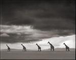 Nick Brandt: Giraffes on Lake Bed, Amboseli, 2012