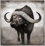 Nick Brandt: Buffalo Blind In One Eye Resting, Amboseli, 2005