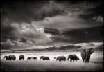 Nick Brandt: Elephant Herd, Serengeti, 2001