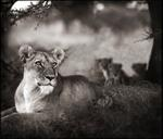 Nick Brandt: Lioness with Cubs Under Tree, Serengeti, 2004