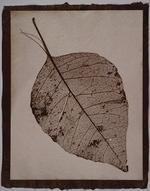 Susannah Hays: Skeletal Leaf (split), 1998